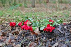 Roses in the forest. Roses in the woods at Hardcastle Crags, West Yorkshire Stock Images