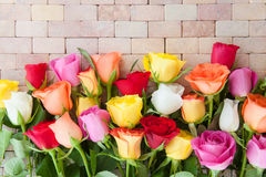 Roses fraîches colorées Photo libre de droits