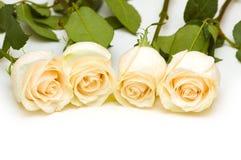 Roses fraîches d'isolement sur le fond blanc Photographie stock libre de droits