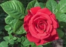 Roses fraîches et gouttelettes de pluie Images stock