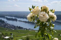 Roses. In front of the Rhine Stock Photography
