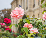 Roses in front of Rodin Museum Royalty Free Stock Images