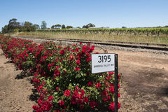 Roses in front of Vineyards, Barossa Valley, Australia Royalty Free Stock Photos