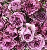 Roses fuchsia Photo libre de droits