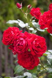 Roses in the Garden Royalty Free Stock Photo