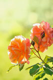 Roses in Garden. With Green Blurred Background Royalty Free Stock Photo