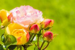 Roses in the garden. As a background Royalty Free Stock Images