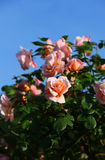 Roses in the garden Stock Image