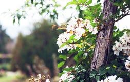 Roses in  garden Stock Images