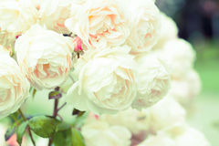 Roses in  garden Royalty Free Stock Images