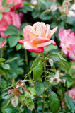 Roses in the garden Stock Photography