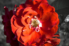 Roses in garden. Beautiful creative wallpaper of garden roses, background Stock Photos