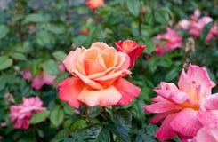 Roses in the garden Royalty Free Stock Photos