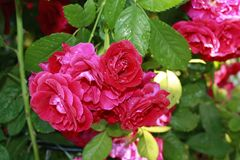 Roses in the garden. Blooming roses in the garden Stock Photos