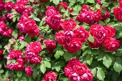 Roses garden. Bush pattern closeup Stock Images