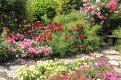 Roses garden. Stock Images