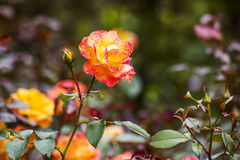Roses in the garden. Close up Royalty Free Stock Photography