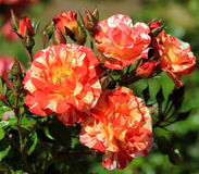 Roses in a garden Royalty Free Stock Photography