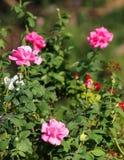 Roses garden Royalty Free Stock Photos