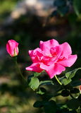 Roses garden Royalty Free Stock Images