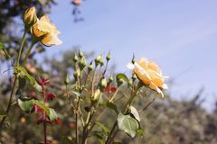 Roses in the garden. Flowers stock photography