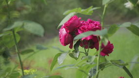 Roses in the garden stock footage
