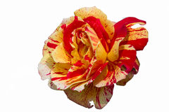 Roses in the garden Stock Photo