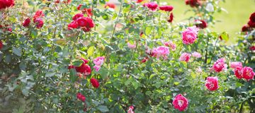 Roses in garden or park on bed of flowers, banner for website with gardening concept stock photo