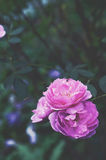 Roses in a garden Royalty Free Stock Images
