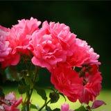 Roses in garden. Pink roses in garden Stock Photo