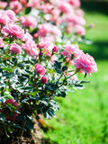 Roses in garden. Pink roses in garden with bokeh background Stock Photos