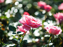 Roses in garden Stock Images