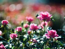 Roses in garden Royalty Free Stock Photo