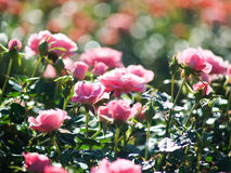 Roses in garden. Pink roses in garden with bokeh background Royalty Free Stock Photography