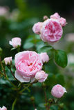Roses in garden. Pink roses bush in garden Stock Photography