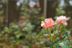 Roses in a garden. Pink roses in a garden; selective focus Royalty Free Stock Photo