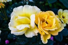 Roses in the garden. Roses in the garden in Poland on the summer Stock Photo