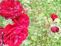 Roses and the rain again. Roses in the garden after the rain, again stock photos