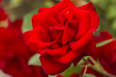 Roses in the garden. Red roses in the garden Stock Photo