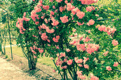 Roses in garden retro style Royalty Free Stock Photo