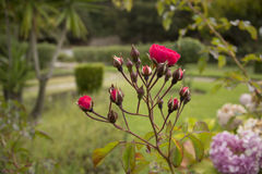ROSES IN A GARDEN. ROSE BOTTONS IN A GARDEN, PINK ROSE AND HIDRANGEAS Stock Images
