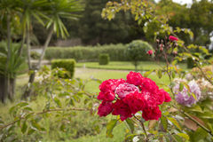 ROSES IN GARDEN. ROSE BOTTONS IN A GARDEN, PINK ROSE AND HIDRANGEAS Stock Photo