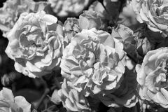 Roses in garden. Black and white photography Royalty Free Stock Photo
