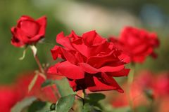 Roses in a garden Royalty Free Stock Photos