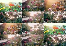 Roses in the garden. Set of colorized images with selective focus and shallow depth of field. Toned pastel color Stock Photography