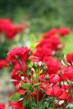 Roses garden spring scene. Roses garden nature spring scene Royalty Free Stock Photography