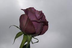 Roses gentilles Photo libre de droits