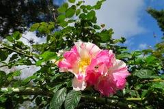 Roses gentilles avec 2 couleurs, roses et blancs Images libres de droits