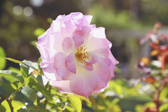 Roses gentle blossoming in a sunlight. Roses cultivation Stock Photography