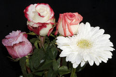 Roses with gerber Stock Photography